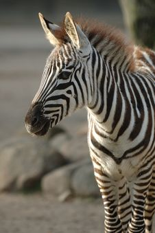 Free Young Zebra Royalty Free Stock Image - 1854506
