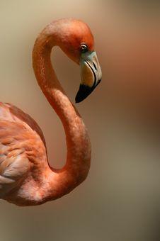 Free Mexican Flamingo Stock Photo - 1855450