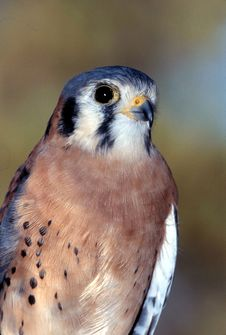 Free American Kestrel Male (Falco Sparverius) Stock Photo - 1855600