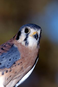 Free American Kestrel Male (Falco Sparverius) Royalty Free Stock Photos - 1855608