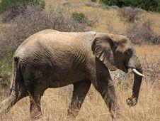 Free A Elephant Stock Photos - 1857363