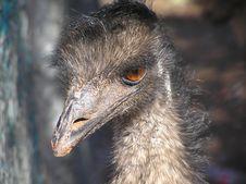 Free Emu Stock Images - 1857494