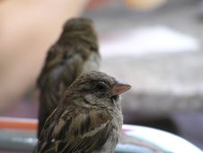 Free Sparrowes Stock Photo - 1857700