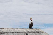 Free Pelican On Roof Top Royalty Free Stock Photography - 1859157