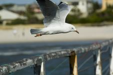 Free Seagull Royalty Free Stock Images - 1859709
