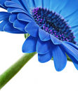 Free Close Up Abstract Of One  Blue Daisy Royalty Free Stock Photo - 18506015