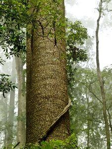 Free Bunya Pine Tree Bunya Mountains Queensland Stock Images - 18501124