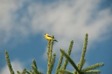 Free Yellow Finch. Royalty Free Stock Photography - 18502837