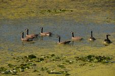 Free Geese On Lake. Royalty Free Stock Images - 18503169