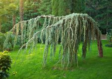 Free Exotic Spruce Royalty Free Stock Photos - 18505968