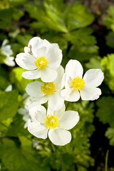 Anemones Stock Photos