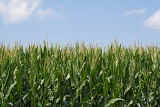 Free Cornfield Close W/ Sky 2 Royalty Free Stock Photo - 18508285