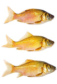 Free Set Of Three Gold Carps Royalty Free Stock Images - 18509489