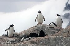 Free Group Of Gentoo Penguins On Rock Stock Photo - 18510910