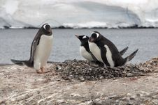 Three Gentoo Penguins And Nest Stock Photos