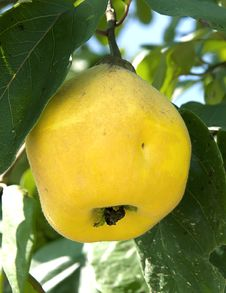 Free Quinces On The Tree, Close Up, Shallow Focus Royalty Free Stock Photography - 18513387