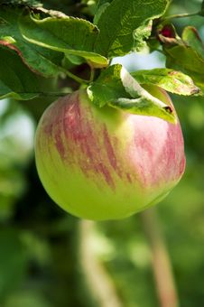 Free Pink Apple On The Tree, Close Up, Shallow Focus Stock Images - 18513474