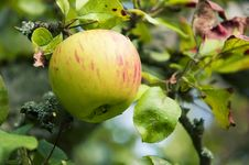 Free Pink Apple On The Tree, Close Up, Shallow Focus Royalty Free Stock Image - 18513496