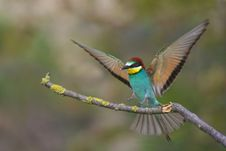 Free European Bee Eater Stock Photography - 18513742