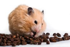 Free Hamster Royalty Free Stock Photography - 18517197