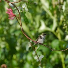 Free Ruffled Hummingbird. Stock Image - 18518311