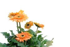 Free Gerbera Flower Royalty Free Stock Photography - 18518957