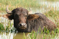 Free Indian Buffalo Stock Photos - 18520273