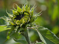 Free Close-up Of The Green Bud Of A Sunflower. Stock Photo - 18520740