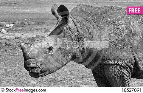 Free White Rhino Stock Image - 18527091