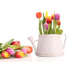 Free TUlips Stock Images - 18521054