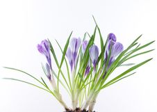 Free Crocus Flowers On White Royalty Free Stock Photo - 18521615