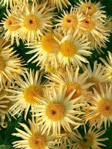 Free Yellow Chrysanthemums Stock Photos - 18522153