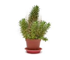 Free Single Cactus Royalty Free Stock Photo - 18522545