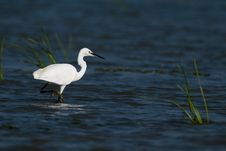 Free Little Egret In Water Royalty Free Stock Photo - 18522705