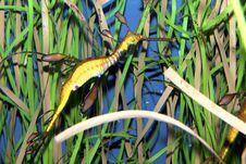 Free Weedy Seadragon (Phyllopteryx Taeniolatus) Royalty Free Stock Photography - 18522757