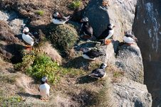 Free Puffins Stock Photography - 18522902