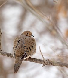 Free Mourning Dove, Zenaida Macroura Royalty Free Stock Photo - 18523865