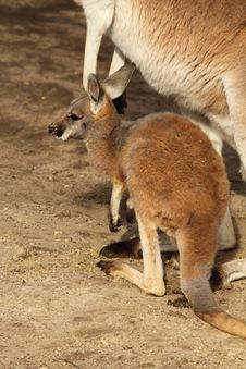 Baby Kangaroo Standing Next To Its Mother Stock Photography