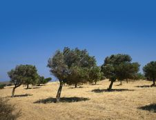 Free Windy Olive Grove Stock Photography - 18525022
