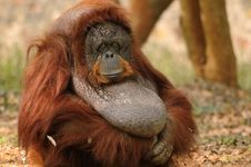 Free Orangutan Portrait Stock Photo - 18525160