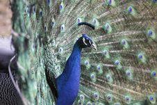 Free Indian Peafowl Stock Photo - 18525620