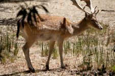 Free Cervus Dama Deer Royalty Free Stock Photography - 18526247