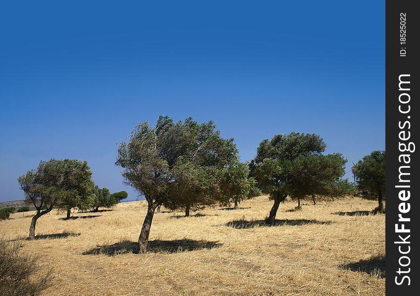 Windy olive grove