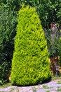 Free Pine Tree Stock Image - 18531811