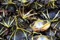 Free Black Crab Royalty Free Stock Image - 18532656