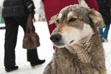 Stray Dog Freezing In Kiev Streets Royalty Free Stock Photo