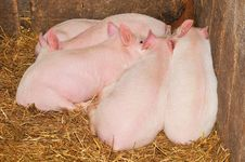 Free Pigs Stock Images - 18530874