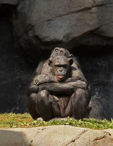 Free Chimpanzee Love Stock Image - 18531071