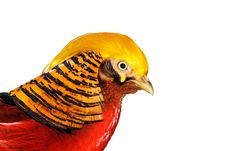 Free Golden Pheasant Royalty Free Stock Photography - 18533197