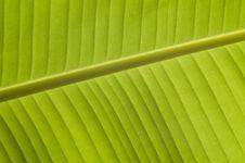 Free Banana Leaf Royalty Free Stock Images - 18533469